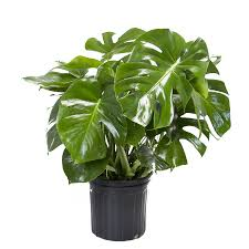 office plants no light. Modren Office LiveTrends 30in SplitLeaf Philodendron In Plastic Pot LTL0049 And Office Plants No Light P