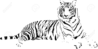 tiger drawing pictures. Brilliant Drawing Selected Pictures Of Tiger Drawings Astonishing Drawing Stock Photos Royalty Inside L