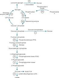 Glycolysis An Overview Sciencedirect Topics