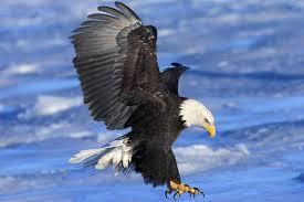 Bald Eagle Facts