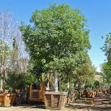 The Shamel Ash, also known as the 'Evergreen Ash', is a great. Fast Growing  ...