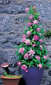How To Tie In A Climbing Rose  GardenersworldcomWall Climbing Plants In Pots