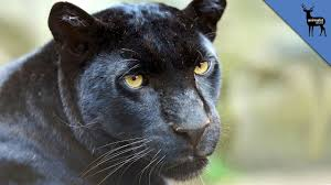 albino black panther. Delighful Panther For Albino Black Panther