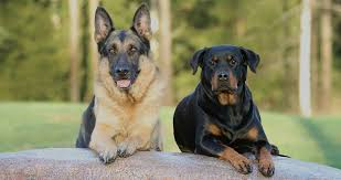 german shepherd rottweiler mix puppies. Delighful Rottweiler German Shepherd Rottweiler Mix  Your Complete Guide Inside Puppies The Happy Puppy Site