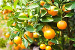 Images & Illustrations of citrus tree