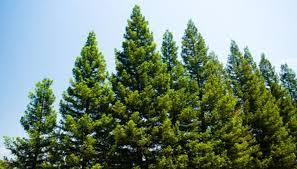 Image result for pine tree