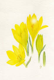 Sternbergia clusiana (Ker Gawler) Spreng. | Flora of Israel Online