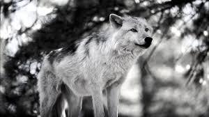 white wolf wallpaper 1920x1080. Brilliant White Free White Wolf Wallpaper 19861 On 1920x1080 O