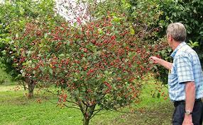 20 Soursop SEEDS  Graviola Annona Muricata Annonacin Tree Shrub Non Gmo Fruit Trees For Sale
