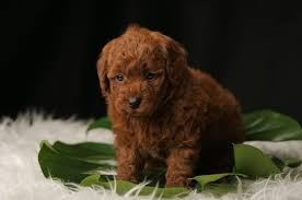 Toy Poodle Growth Chart Teacup Poodle A Complete Guide To Micro Teacup Toy