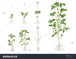 Soybean Growth Stages Stock Vector Royalty Free 718964302