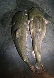 flathead catfish wallpaper. Exellent Catfish These 35 To 40lb Flathead Catfish Were Caught In The Susquehanna River  Late June 2015 On Live Bluegills Inside Flathead Catfish Wallpaper