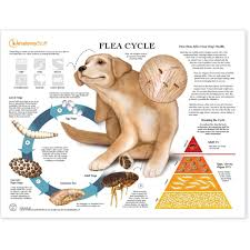 Flea Cycle In Dogs Chart Poster Laminated