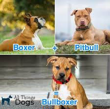 Bullboxer Size Chart Pitbull Boxer Mix The Ultimate Breed Guide To This Bouncy