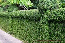 A Hedge Natural Fence