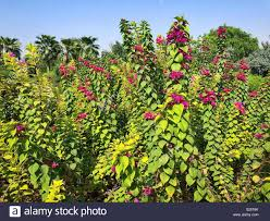 Paper Flower Branches Wonderful Branches Of Paper Flower Plant Stock Photo 311192523 Alamy