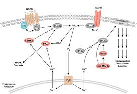 Gpcr Signaling Gpcr Calcium Camp Cell Signaling Technology