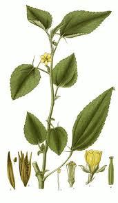 Afbeeldingsresultaat voor jute plant