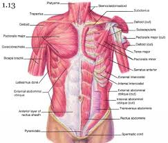 Stomach Muscle Chart Images Of Torso Muscle With Label Muscles Of The Upper Torso