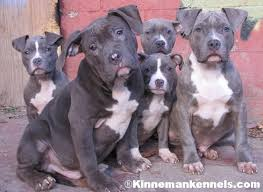 terrier pitbull puppies. Interesting Puppies American Pit Bull Puppies Throughout Terrier Pitbull P