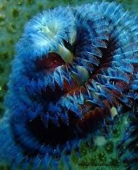 BiomesFifth10  Coral Reef FactsChristmas Tree Worm Facts