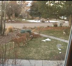 Mountain lions moving back into boulder during lockdown. in 2020 | Mountain  lion, Animals, Animals wild