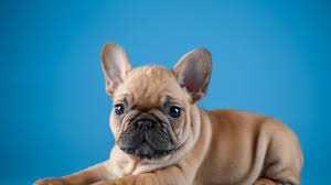 french bulldog puppy wallpaper. Contemporary Puppy French Bulldog Puppy Wallpaper  Studio 10 Tens Of  For Cave