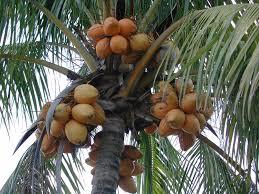Datetree Stock Images RoyaltyFree Images U0026 Vectors  ShutterstockPalm Tree Orange Fruit