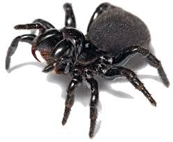 Image result for funnelweb spider