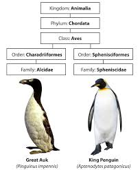 Comparison Of The Great Auk To