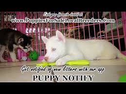 husky puppies mn and wi 10 2021