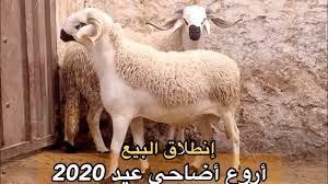 🎯 حصريا انطلاق بيع أضاحي عيد2020🔥 عند عبد الرزاق النازي-  الصغر🦷الزين😻المليح 👍او التمن المناسب🙏 - YouTube