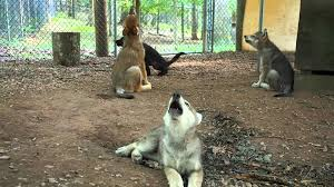 gray wolf pups howling. Unique Pups YouTube Premium On Gray Wolf Pups Howling