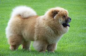 Chow Chow Height Chart Chow Chow