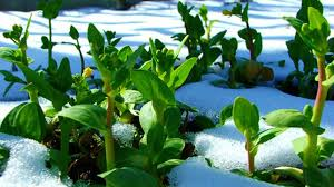 feature winter plants winter gardening tips the prepper s guide to cold weather