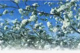Что такое сад Особенности его создания Биология Реферат  Рис 74 Цветение фруктовых деревьев сада