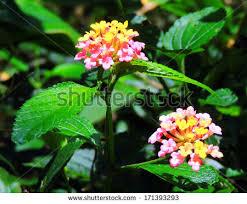 lantana flowers in kauai hawaii
