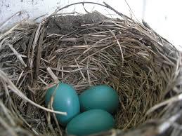 Light Blue Eggs In Nest Robin Egg Blue Wikipedia