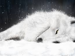 white wolf wallpaper. Interesting Wolf Wolves Images White Wolf HD Wallpaper And Background Photos In White Wolf Wallpaper W