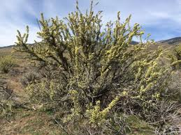 Image result for bitterbrush steppe