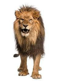 lioness roar front view.  Lioness Front View Of A Lion Roaring Standing Panthera Leo 10 Years Old In Lioness Roar View