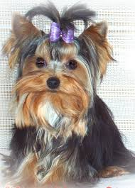 yorkie wisconsin minnesota breeder teacup yorkie puppies yorkshire terrierteacup yorkie puppies