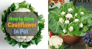 growing cauliflower in containers care how to grow cauliflower in containers balcony garden web