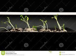 Tomato Seedlings Under A Grow Light Stock Image Image Of