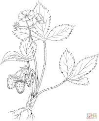 Strawberry plant drawing at getdrawings free for personal use strawberry plant drawing 28 strawberry plant drawing