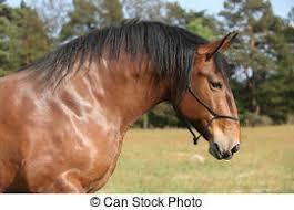 draft horse head profile. Plain Draft Portrait Of Beautiful Draft Horse With Rope Halter Inside Draft Horse Head Profile C