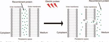 Cell Membrane Electroporation Part 2 The Applications Semantic