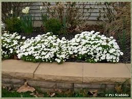 candytuft an evergreen perennial covered in pretty white flowers every spring
