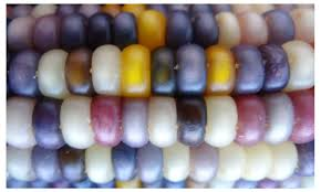 real glass gem heirloom indian corn seeds non gmo rainbow color