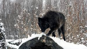 black wolf wallpaper 1920x1080. Perfect Black Wolf Wallpapers HD A40 With Black Wallpaper 1920x1080 O